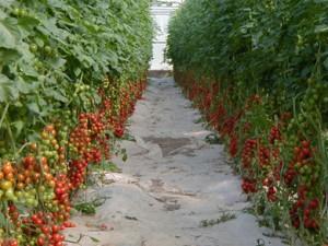 coltivazione_pomodoro_bg