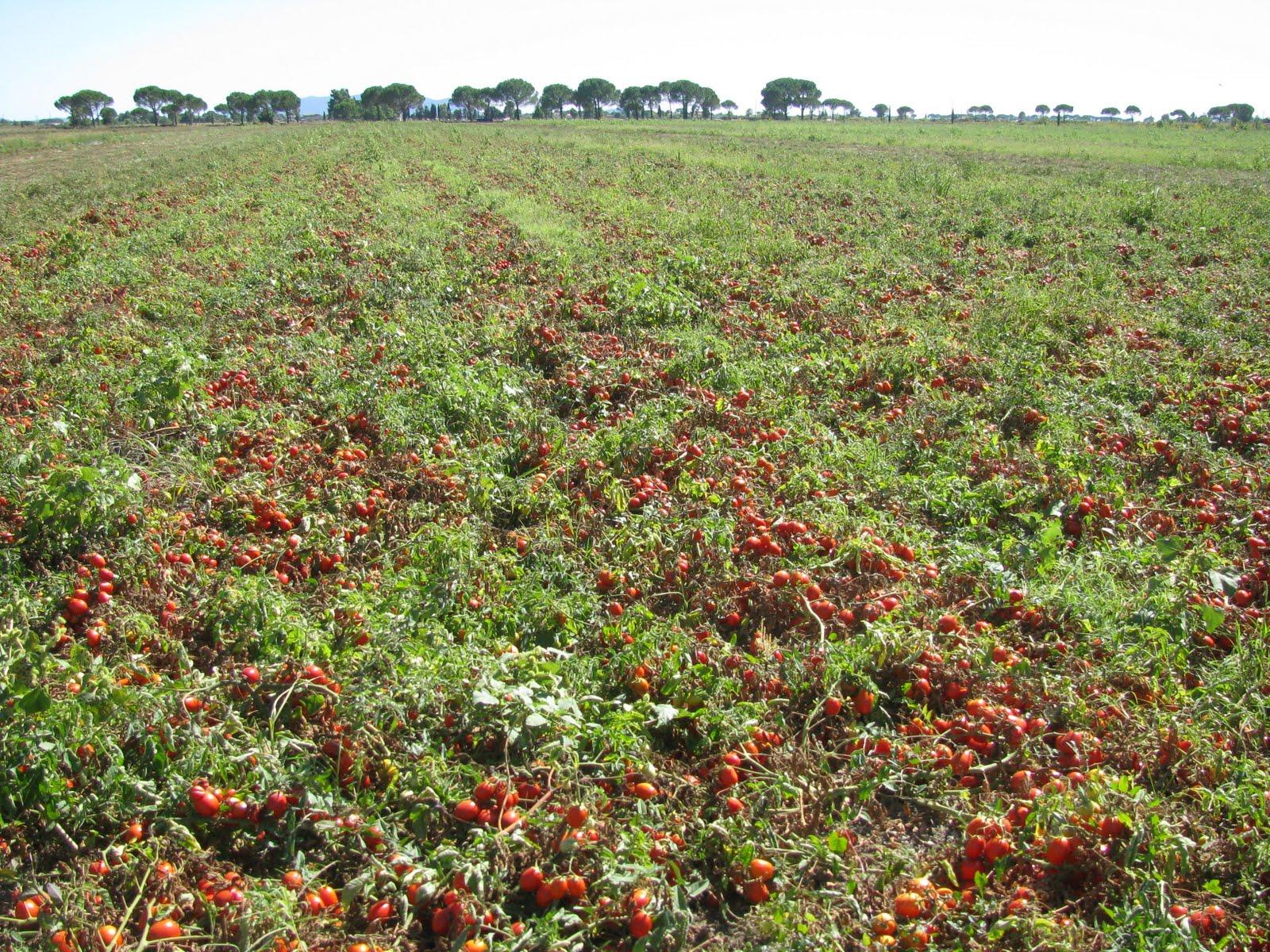 Coltivazione pomodoro (st - Ph: ilcecca.blogspot.com )