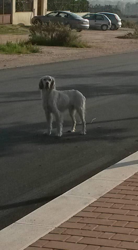Lettori manfredonia cane di razza setter cerca casa for Cane setter