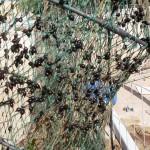 Nassa con uova di seppie attaccate alla rete