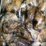 Seppie appena pescate con reti da posta nel Golfo