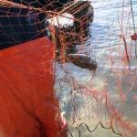 Seppia pescata con rete da posta ndramacchiete