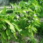 I Manuuèlle-mandorle verdi tenere