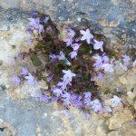 13. - Campanula garganica fotografata lungo il percorso Tomaiuolo-Pulsano