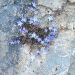 14. - Campanula Garganica fotografata nei pressi dell'Abbazia di Pulsano