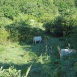 7. - Mucche podoliche al pascolo in zona Tomaiuolo
