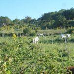 8. - Mucche al pascolo