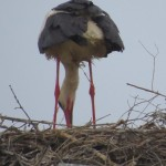 cicogna-carafa (7)