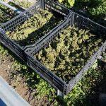 Orta Nova, marijuana: arrestato