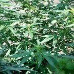 marijuana-foggia-1