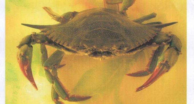 Un grosso esemplare di granchio blu catturato nel 2012 nelle reti da pesca nel Golfo