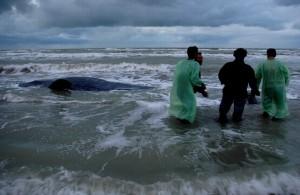 Salvataggio cetacei(foto M.Caldarella)