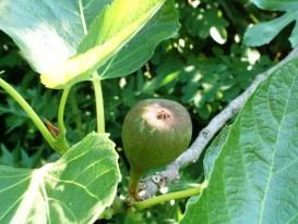 Fioroni, albero (immagine d'archivio)