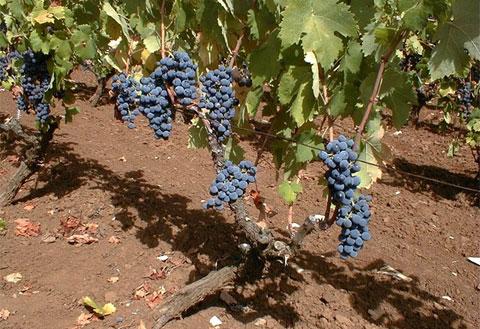 Negato il riconoscimento Doc per il vino Nero di Troia (darapri.it)