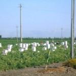 Immigrati a lavoro nelle campagne di Manfredonia
