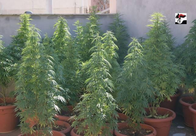 Terlizzi, marijuana sul terrazzo e in camera da letto | Stato ...